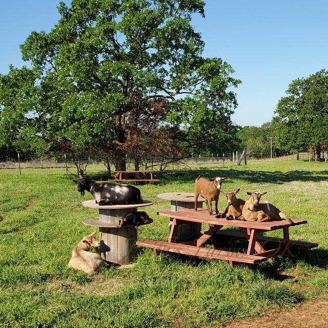 Goats, relaxing.
